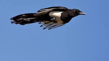 Protecting the Asir magpie - Saudi Aramco